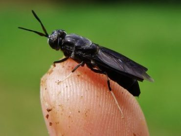 Black-Soldier-Fly-2-400x300